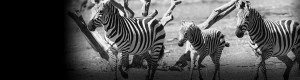 Why run with horses when you can run with the Zebras?